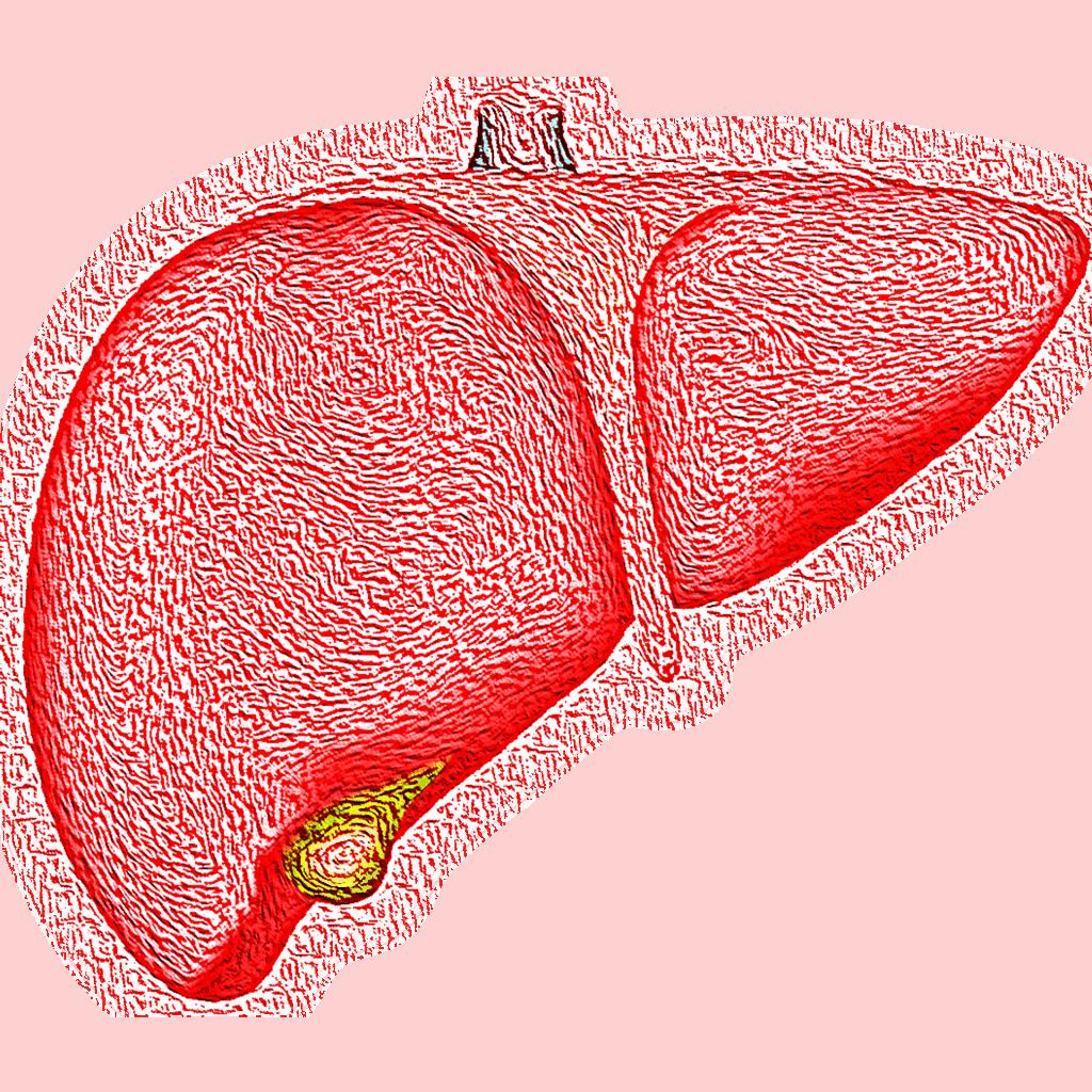 liver hepatic organ