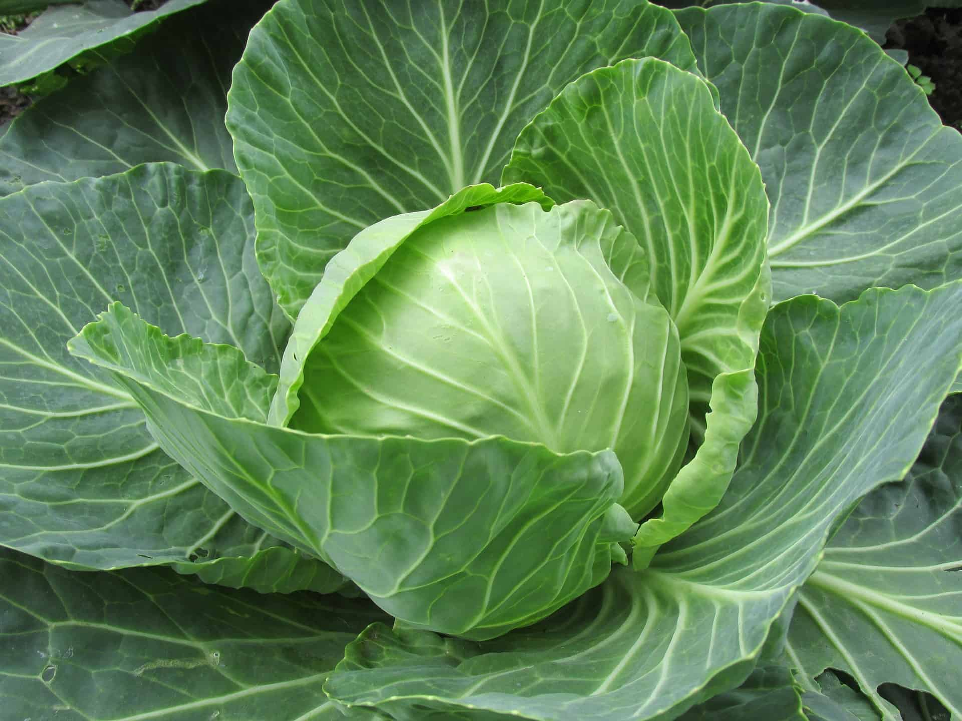 Everything You Need to Know About Cabbage Soup Diet